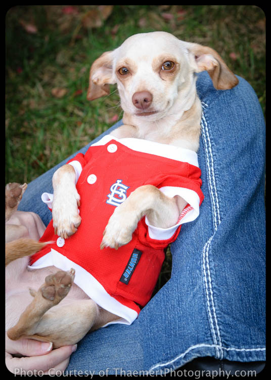 St Charles Pet Photographer - St Louis Cardinals Fan Dog